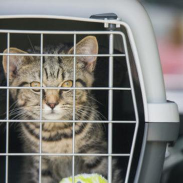 Hoe krijg je je kat het reismandje in?