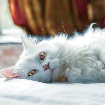 Meer thuis bij je kat vanwege het Corona virus (COVID-19), hoe pak je dit aan?