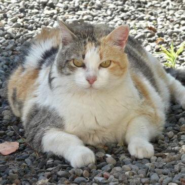 Waarom katten te dik worden.