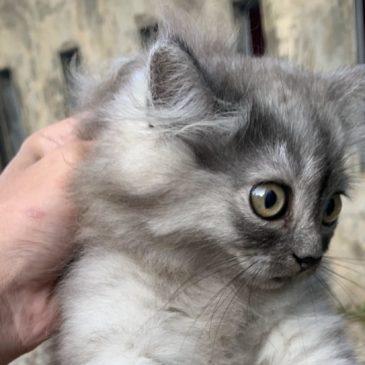 Een kat in zijn nekvel grijpen(scruffen) ja of nee?