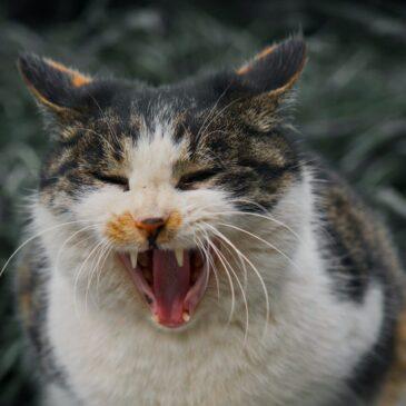 Waarom blaast mijn kat naar al mijn vrienden?
